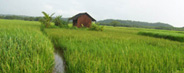Agriculture Fields Alleppey